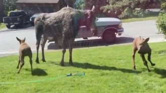 This Moose Family Is Having The Time Of Their Lives Playing In Sprinklers
