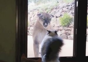 This Brave Housecat Is Ready To Throw Down With A Mountain Lion