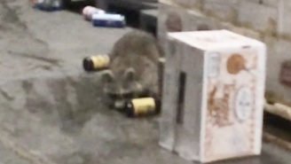 A Raccoon Walks Into A Beer Distributor… And Gets Itself Sh*t-Faced Drunk