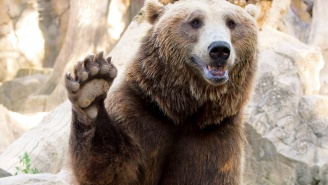 A Grizzly Bear Shattered A Glass Barrier With A Rock At The Minnesota Zoo