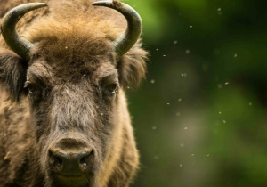 Woman Takes Selfie With Bison, Immediately Gets Attacked By Said Bison