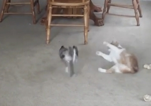 Watch This Fat Cat Get Knocked Over By A #ThugLife Little Dog