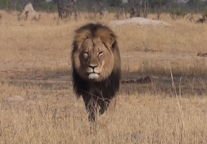 Cecil The Lion Was Reportedly Baited With Elephant Carcass Before He Was Killed