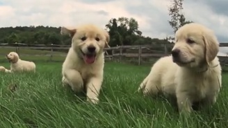 Bookmark This Video Of 21 Frolicking Golden Retriever Puppies In Case Of Emergency