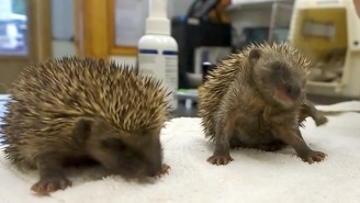 Nothing Is Cuter Than These Baby Hedgehogs That Can't Stop Sneezing