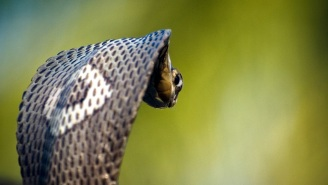 There's A Cobra Loose In Austin And NOPE NOPE NOPE