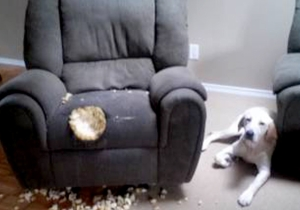 This Dog Is Not Even Sorry That It Ate The Chair