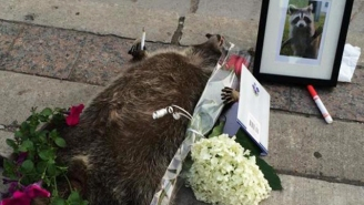 The Internet Gave A Dead Raccoon A Beautiful, Makeshift Memorial