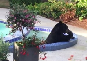 Watch This Black Bear Beat The Heat In A Vancouver Pool And Hot Tub