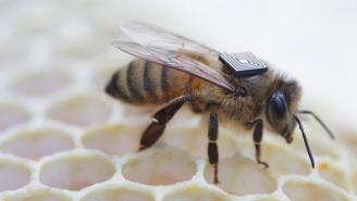 Is That Bee Wearing A Backpack? Scientists Are Microchipping Bees To Save Them.