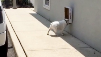 This Bulldog Carrying A Box On Its Face Is Basically The Dog Version Of A Roomba