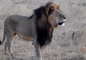 Conflicting Reports Have Left The Life Of Cecil The Lion's Brother, Jericho, In Question