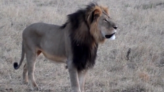 RIP: Cecil The Lion's Brother Jericho Has Been Found Dead