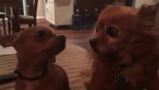 This Teeny Tiny Chihuahua Screams Bloody Murder And It's Very Cute