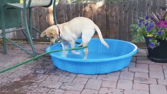 Watch This Resourceful Labrador Fill Up Her Swimming Pool On A Hot Day