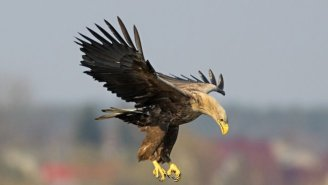 Check Out This Eagle Attacking A Drone In Midair