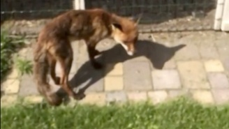 This Fool Sneaking Up On A Hungry Fox Gets Exactly What He Deserves