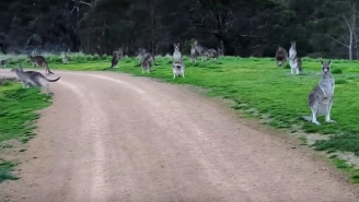 Watch This Giant Horde of Terrifying Kangaroos Haunt A Cyclist In Australia