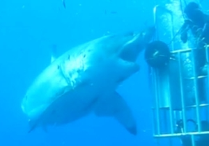 This Video Of 'The Largest Shark Ever Filmed' Will Keep You On Dry Land Forever