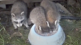 These Raccoons Are Just Making Love To This Bowl Of Kibble And Milk