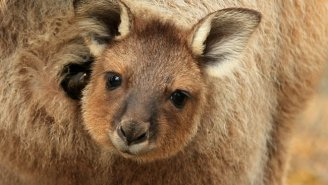 This Adorable Orphaned Kangaroo Hugging A Teddy Bear Will Hit You Right In The Feels