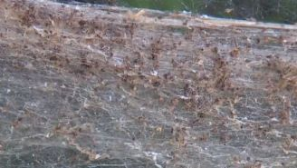Today in NOPE: Thousands Of Spiders Band Together To Build A Mega-Web