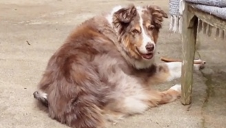 This Australian Shepherd Doesn't Care That A Bird Is Making A Nest Out Of Her Fur