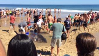 Dozens Of Beachgoers Tried To Save A 2,000-Pound Great White Shark