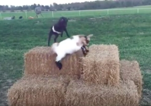 Baby Goat Parkour Is Exactly What You Need On A Monday