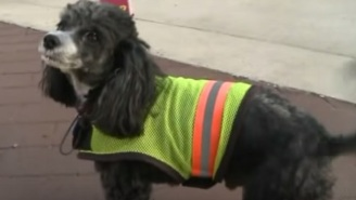 Patches The Dog Had A Great Career As A Crossing Guard Until He Was Fired
