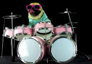 This Pug Drummer Beat Out An Impressive Version Of Metallica's 'Enter Sandman'