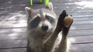 Rocksy The Raccoon Has Figured Out How To Get Humans To Do Her Bidding