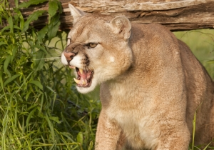 Man Wards Off TWO Cougars… While Filming It On His Cellphone