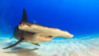 A Ten-Foot Hammerhead Shark Attacked A Kayaker Off The Malibu Coast
