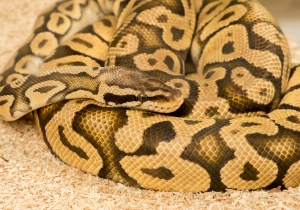Pythons Are Occupying Public Toilets In Australia Because, Of Course