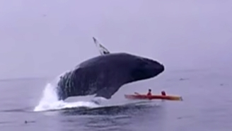 Here's A Humpback Whale Jumping Out Of The Ocean And Nearly Crushing Two Kayakers