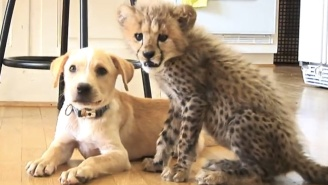 There's Nothing More Adorable Than This Cheetah Cub And Puppy Who Are The Best Of Friends
