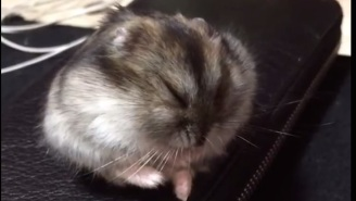 Yo, Check Out This Hamster Experiencing A Very Dramatic Nap Attack