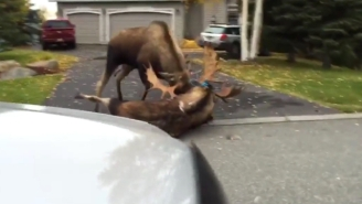 Watch These Two Moose In A Knock-Down, Drag-Out Fight For The Ages