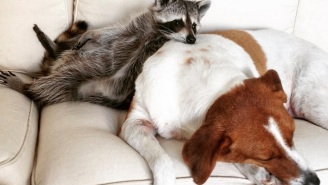 Meet The Adorable Rescued Raccoon Who Thinks She's A Dog