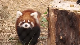 Lucky You! We Found Some Adorable Red Panda Cubs!