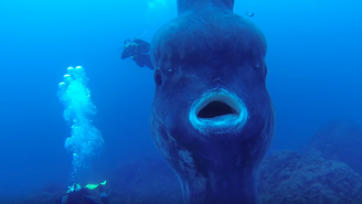 Watch These Divers Get A Surprise Visit From A Massive Sunfish