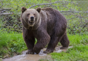 Meet The Bear Who Just Crashed A Montana High School's Classes