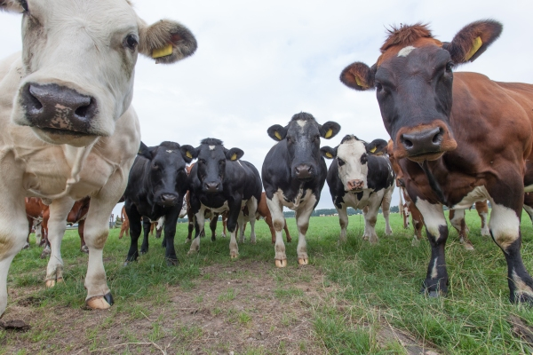 No, it's not your imagination. These cows are judging you for eating them.