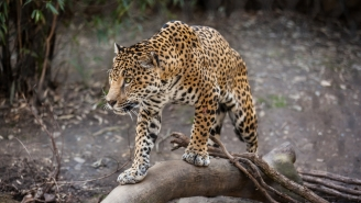 Let This Video Of A Jaguar Hunting A Caiman Remind You That Big Cats Are Worth Preserving