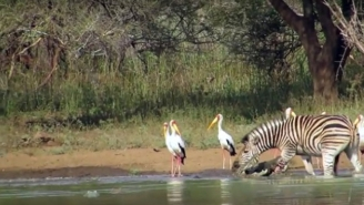 An Incredibly Brave And Lucky Zebra Escapes The Jaws Of Two Crocodiles