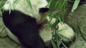 Bei Bei The Baby Panda Just Took His First Waddly Steps