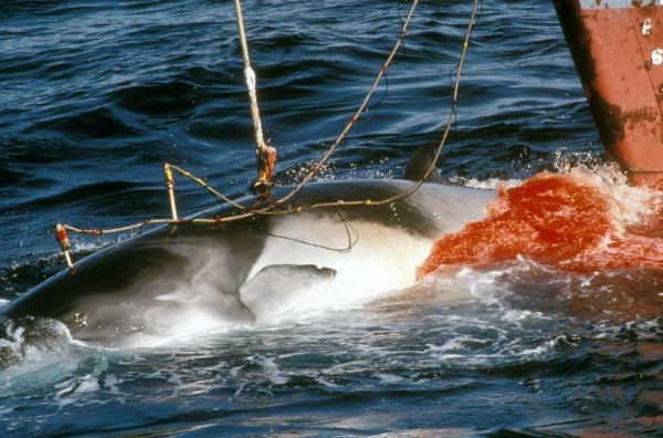 Japanese whaling in Northern Ross Sea Antarctica. Harpooned minke whale 1989