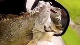 This Iguana Joyfully Riding Shotgun With His Head Out The Window Like A Dog Is Having The Time Of His Life!