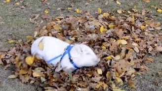 This Mini Pig Is Having The Most Fun Ever Playing In A Pile Of Leaves